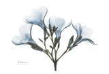 Oleander in Blue