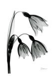 Snow Drop in Black and White