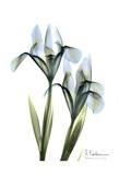 Blue Iris Pair