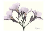 Oleander in Purple