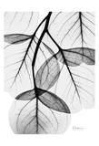 Flowing Eucalyptus in Black and White