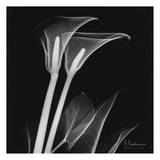 Calla Lilly on Black