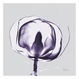 Purple Tulip Bud Open on Purple