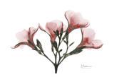 Oleander Peace in Pink