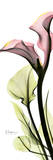 Calla Lily in Color
