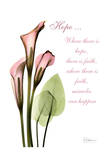 Calla Lily in Pink  Hope