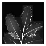 Holly Leaves Black and White