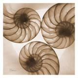 Brown Shell Triple Reproduction d'art par Albert Koetsier