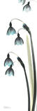 Snowdrop Galanthus in Blue