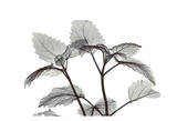 Lemon Balm in Black and White