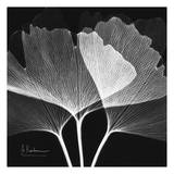 Ginkgo Close Up Black and White