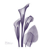 Calla Lilly Purple
