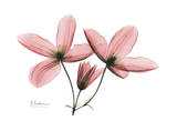 Clematis Trio in Pink