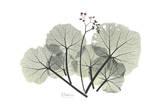 Begonia Buds