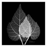 Sage Leaf Pair Black and White