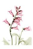 Pink Spring Foxglove
