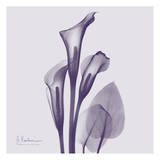 Calla Lilly Purple II
