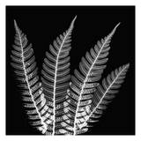 Fern Leaves Black and White
