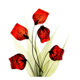 Sandersonia Bunch in Red