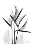 Anthurium in Black and White