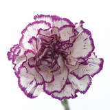 Carnation Creation I