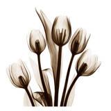 Tulip in Sienna Reproduction d'art par Albert Koetsier