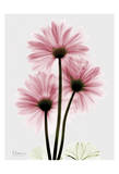 Pink Gerbera Triple