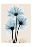 Blue Gerbera Triple