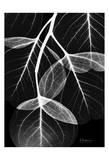 Flowing Eucalyptus on Black