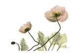 Amanda&#39;s Iceland Poppies