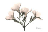 Oleander in Pink