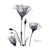 Gentian Trio in Black and White