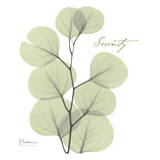 Eucalyptus Green  Serenity