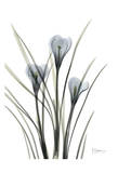 Crocus in Black and White