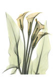 Calla Lily Bunch in Color
