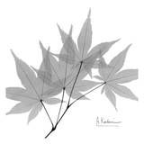 Japanese Maple in Black and White