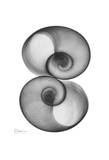 Moon Snail in Double