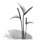 Flamingo Plant Black and White