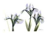 Blue Iris Triple