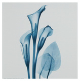 Calla Lilly Blue