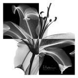 Lily Black and White on Squares
