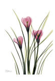 Pink Spring Crocus