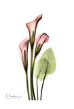 Calla Lily Bouquet in Pink
