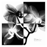 Orchid Black and White on Squares