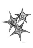 Star Fish Triple in Black and White