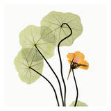 Nasturtium
