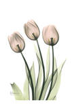 Three Pale Pink Tulips