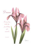 Pink Iris  Dream
