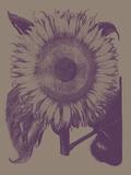 Sunflower  no 14