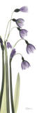 Snow Drop in Lavender